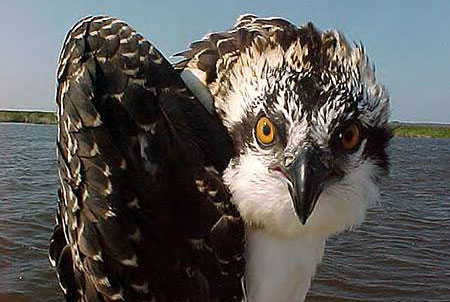 An osprey looking at the camera