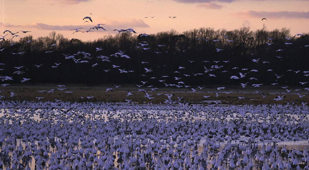 thousands of geese resting at Bombay Hook National Wildlife Refuge