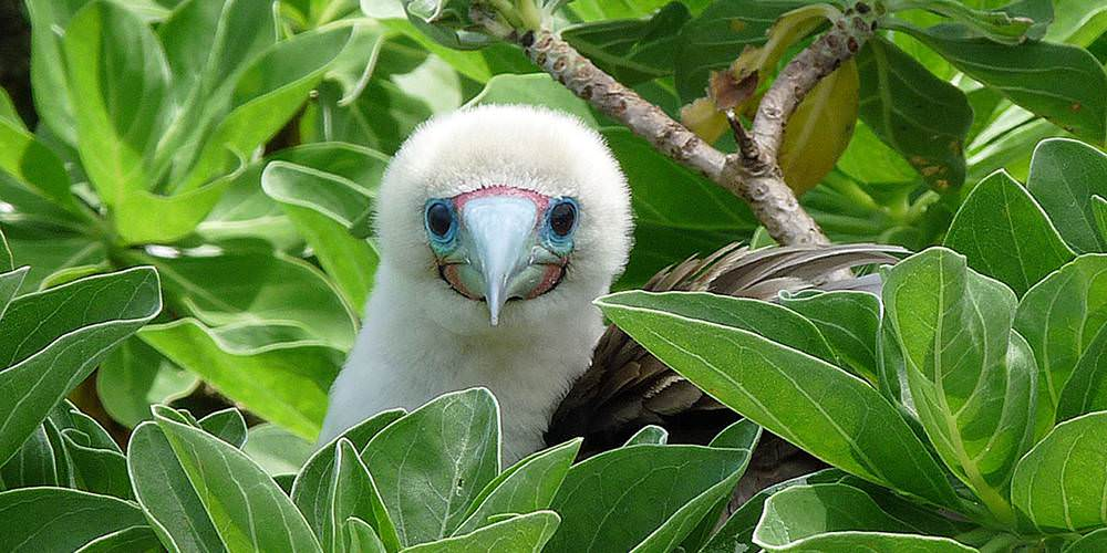 red footed booby in a tree at palmyra atoll